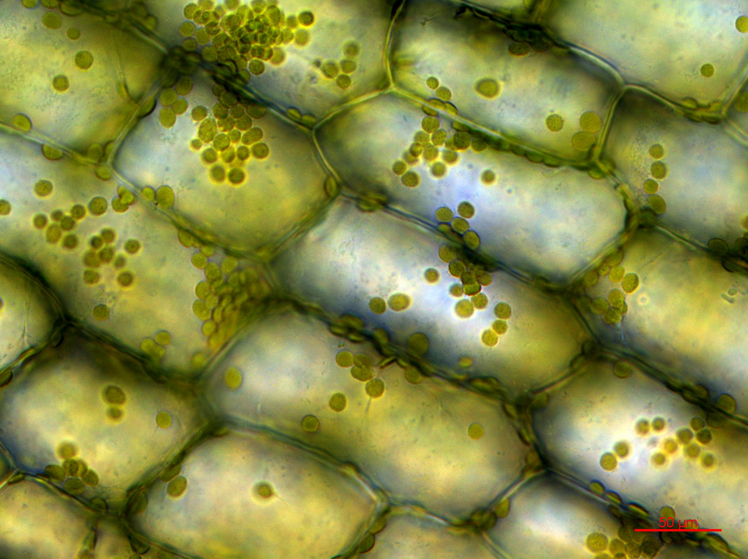 © Joachim Hehl (ETH Zurich) Chloroplast of the waterweed